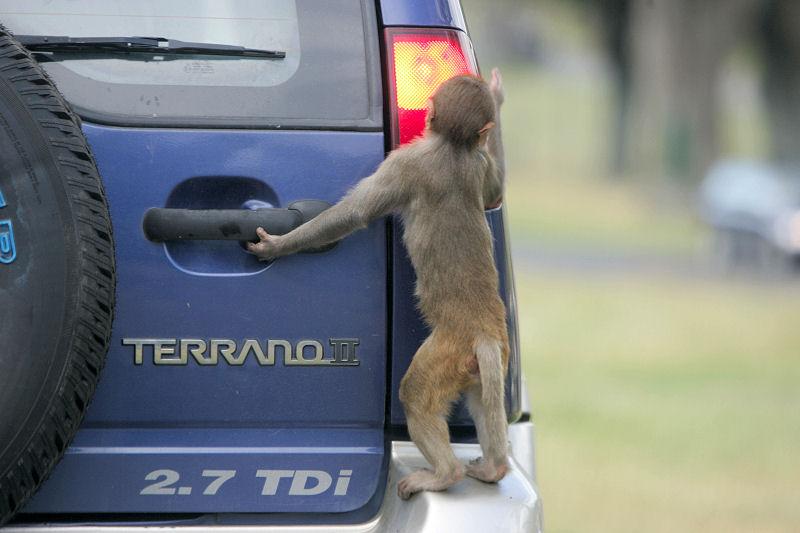 Monkey_Climbing_Up_Terrano_4WD_Car_A8V26