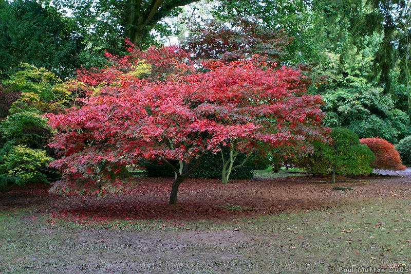 Gallery for japanese maple tree varieties for Japanese maple tree