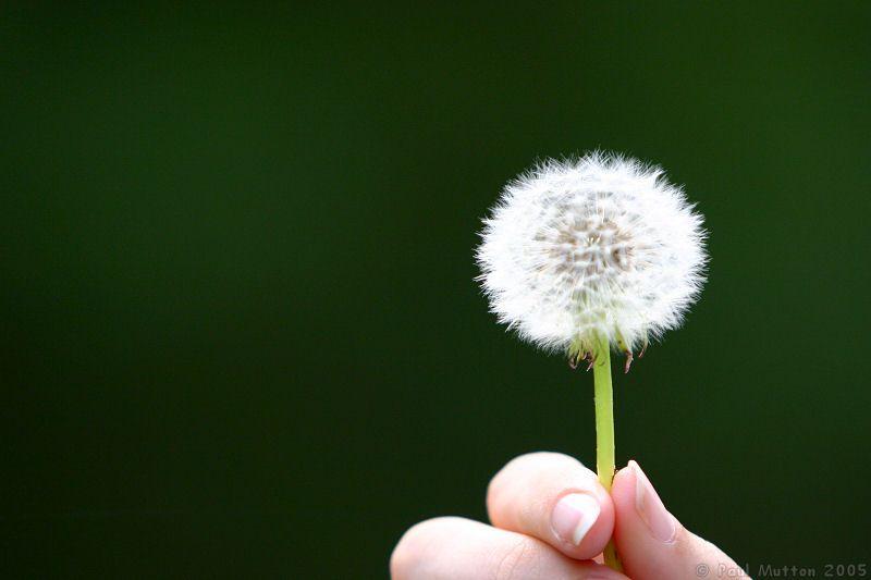 Photo Dandelion In Hand