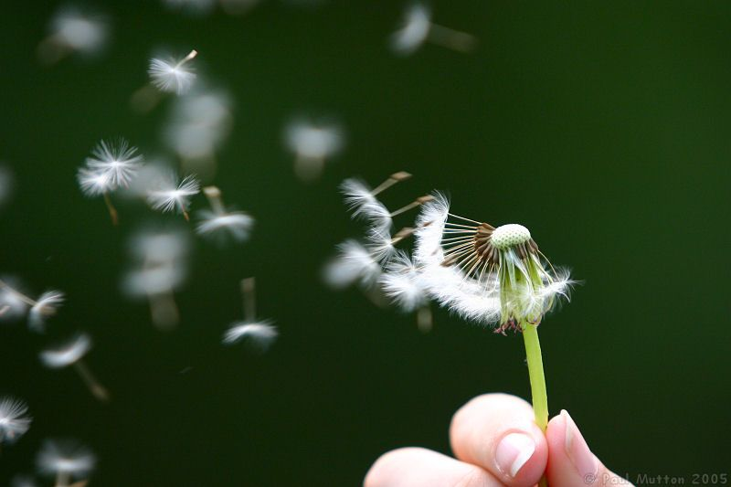 dandelion seeds being blown