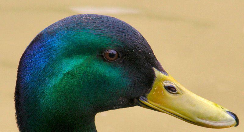 Colourful_mallard_duck_head.jpg