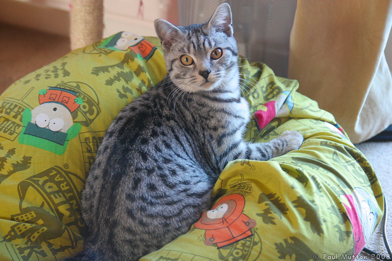 Admirable Photo Silver Tabby Cat Beanbag Img 4857 Pabps2019 Chair Design Images Pabps2019Com