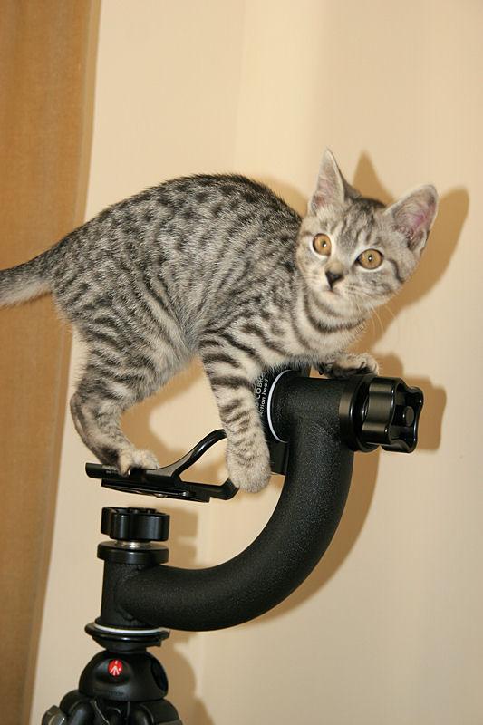 Photo Silver Tabby Kitten On Camera Tripod Img 4392