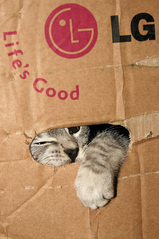 - Silver_Tabby_Kitten_Playing_In_A_Cardboard_Box_IMG_4376