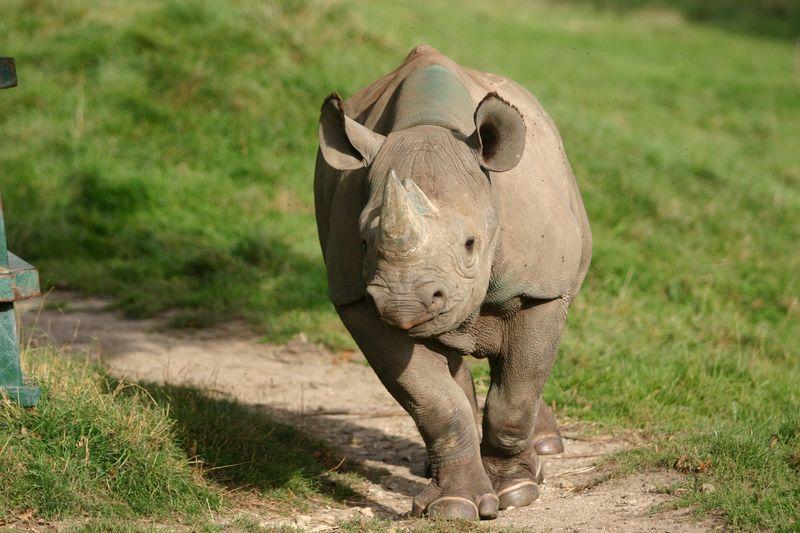 IMG 4470 Rhino running